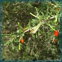 lycium gillesianum (1)