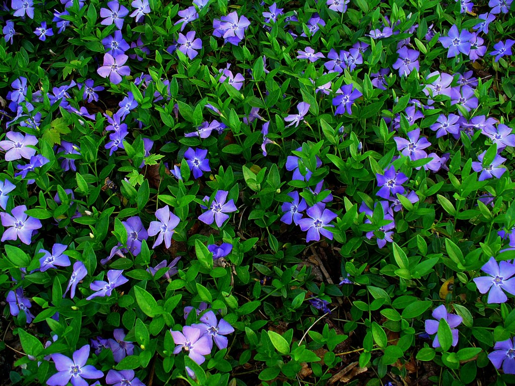 Shade perennials, myrtle, periwinle, vinca minor