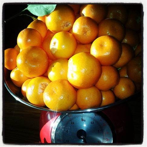 #fresh #calamondins. I have a great #salad dressing recipe with these