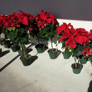 #poinsettia trees