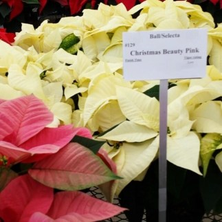 #Christmas #poinsettia #veriaties
