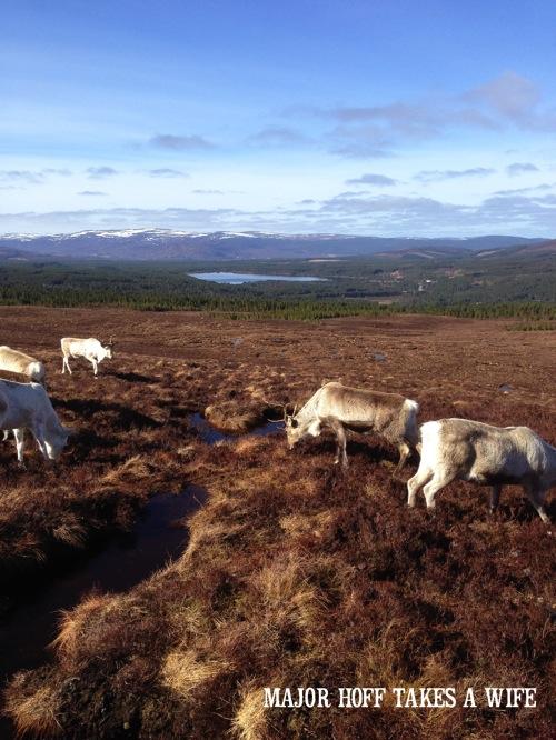 Feeding Reindeer in Scotland