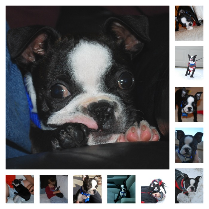 A fun story about a family adopting a Boston Terrier puppy and later a Boston Terrier rescue dog from a local shelter. Also explains how Pedigree is donating food for dogs in need. #PedigreeGives #CBias #ad #dog #rescuedogs