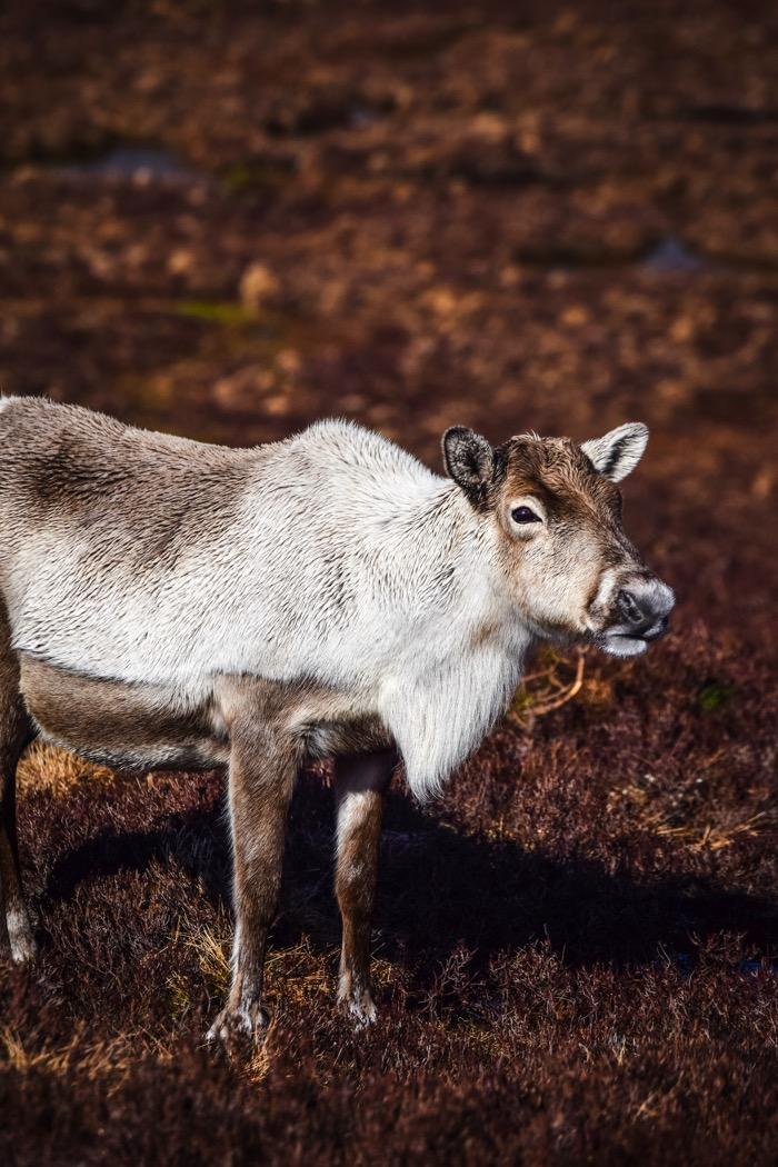 Reindeer at Cairngorm Mountain