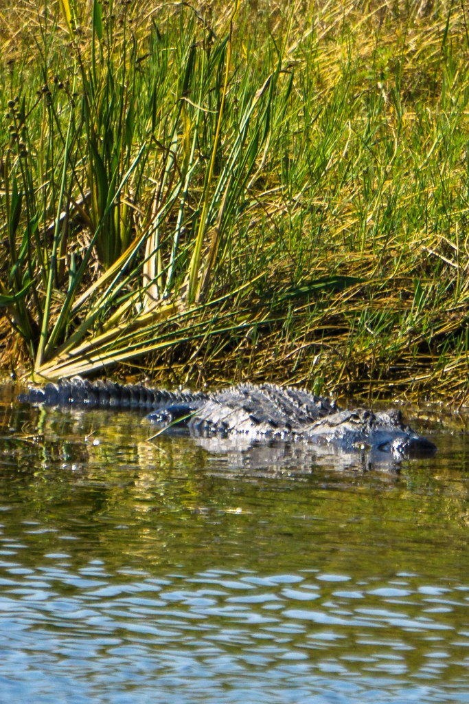 Air Boat Tours With Wild Florida - Major Hoff Takes A Wife