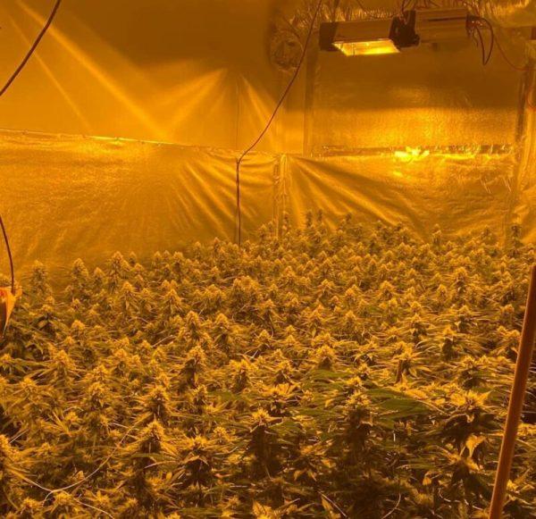 Weed Farm Ocho Rios