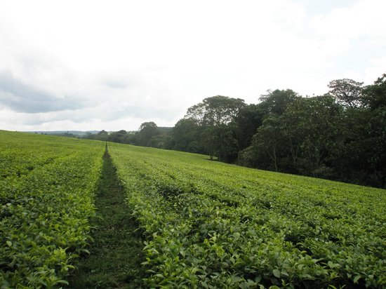kericho-tea-plantations