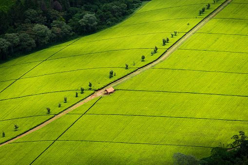 Kericho: 10,000 acres of tea plantation