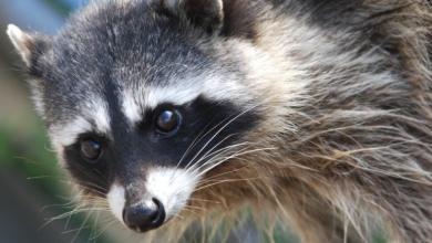 Raccoon - сканер для поиска информации и возможных уязвимостей