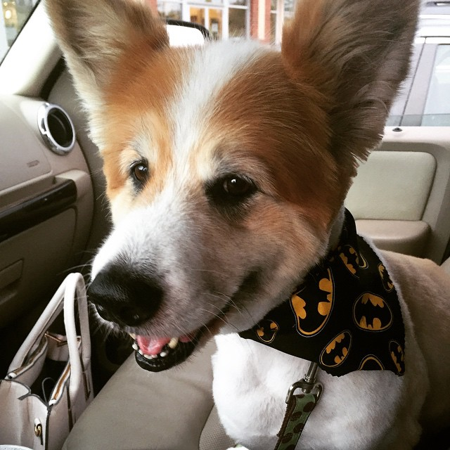 Bat Dog is coming home from the groomer!!!
