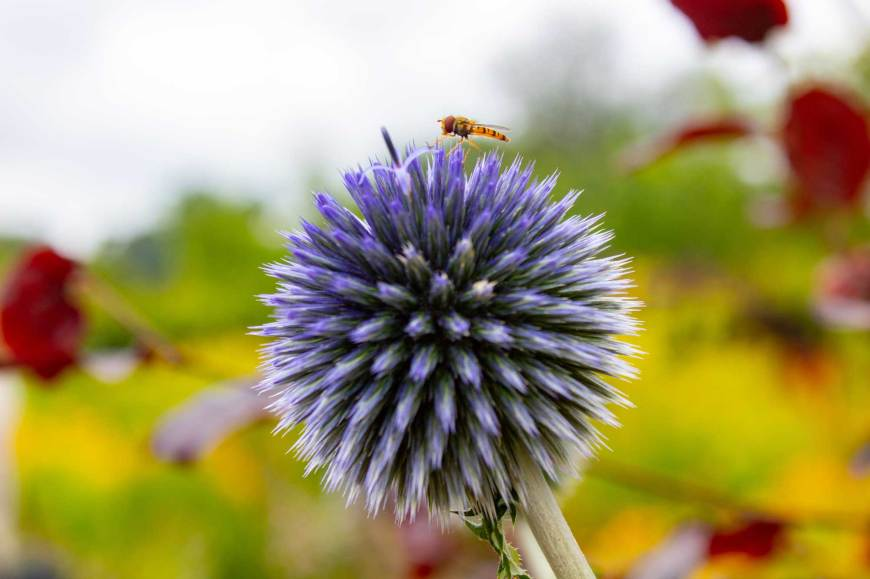 Flower and hornet in Helmsley Walled Garden