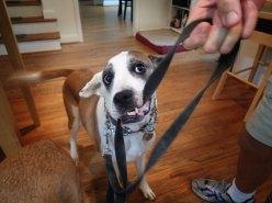 Elliott loves his leash.