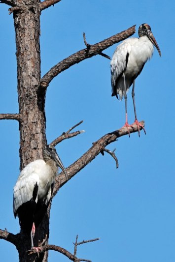 Wood Storks.