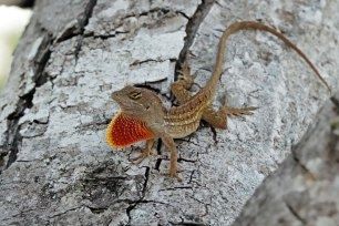 This Brown Anole was also hanging out in the tree at our campsite.