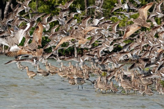 This flock of Dowithcers, Godwits, and Willits landed in front of us as we kayaked past.