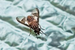 Striped Deer Fly. Beware, they are vicious.