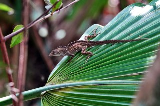 Brown Anole.