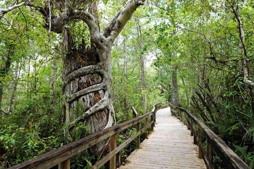 The Big Cypress Bend Boardwalk.