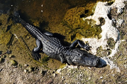American Alligator as seen from the boardwalk at the Big Cypress Oasis Visitor Center.