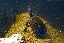Florida Soft Shelled Turtle.