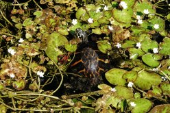 Florida Red-bellied Cooter.
