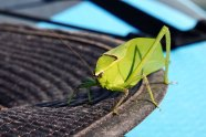 On our kayak back Greg discovered he had a Giant Katydid hitching a ride.
