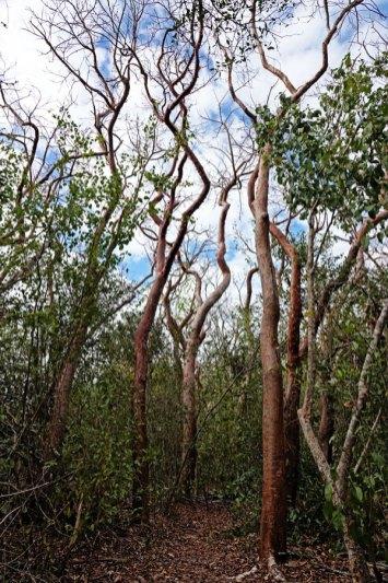 Gumbo Limbo Trees.