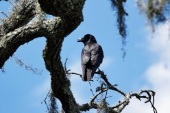 Fish Crow.