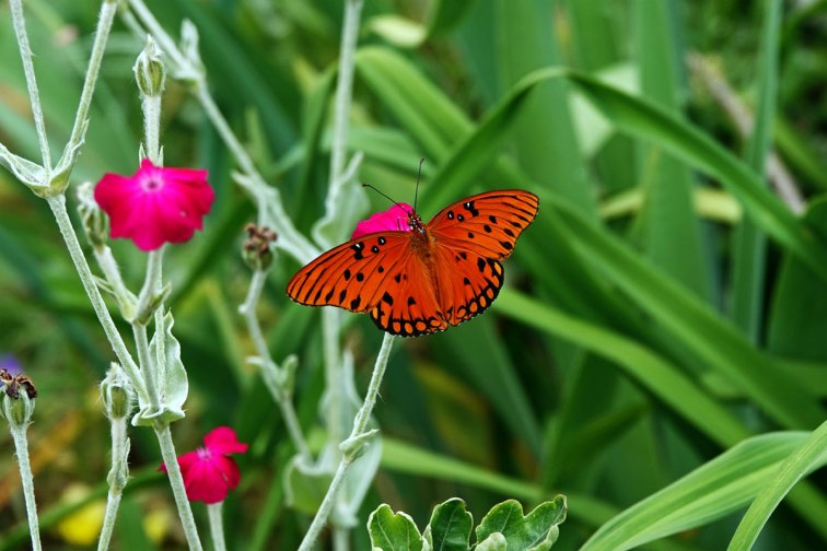 Or this Gulf Fritillary.