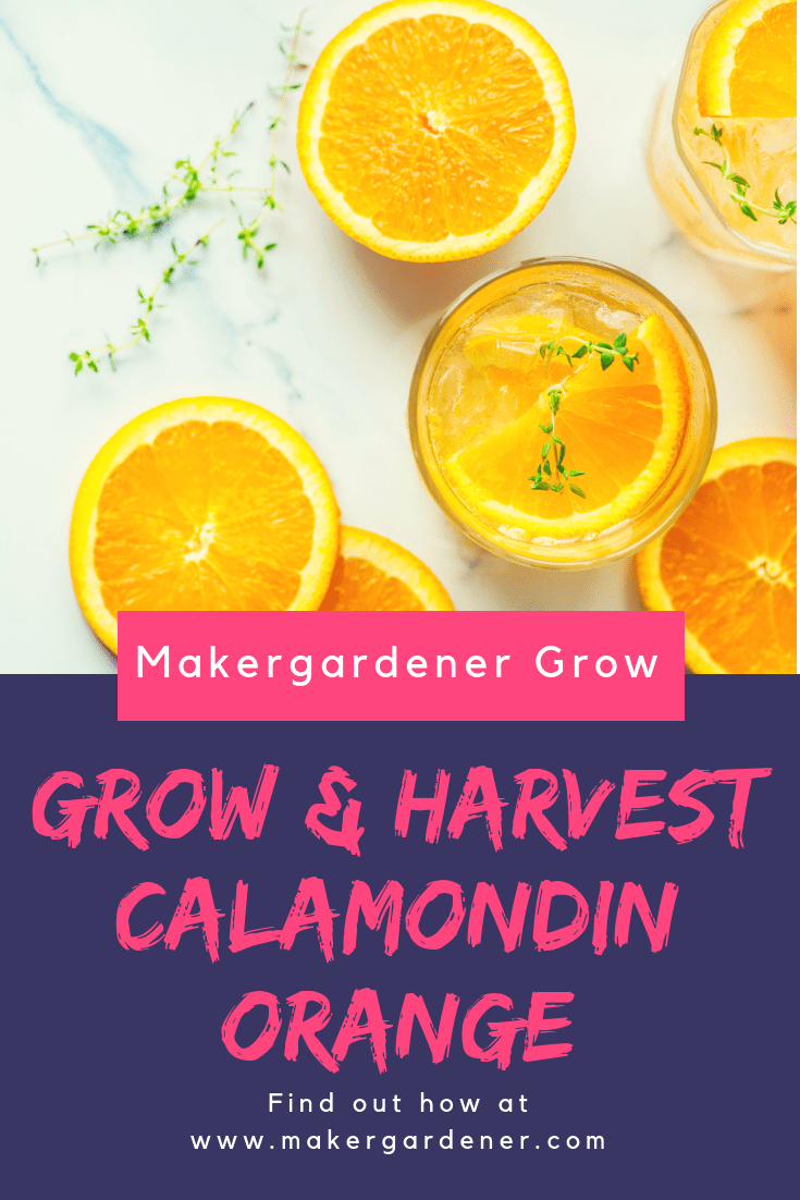 growing and harvesting calamondin
