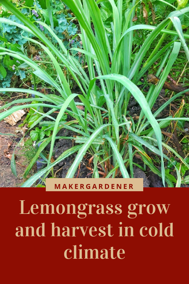 grow and harvesting lemon grass