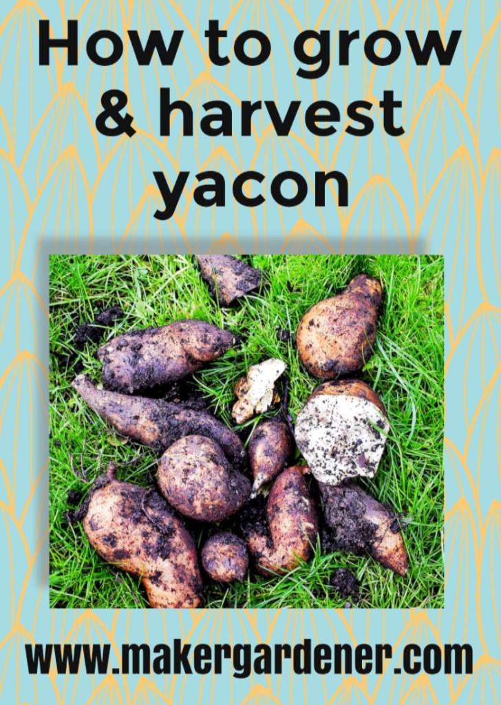 how to grow and harvest Yacon