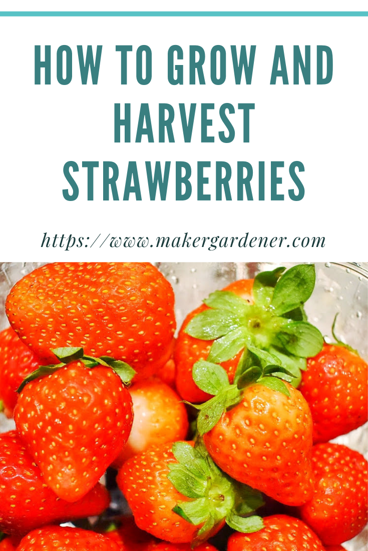 how to grow and harvest strawberry