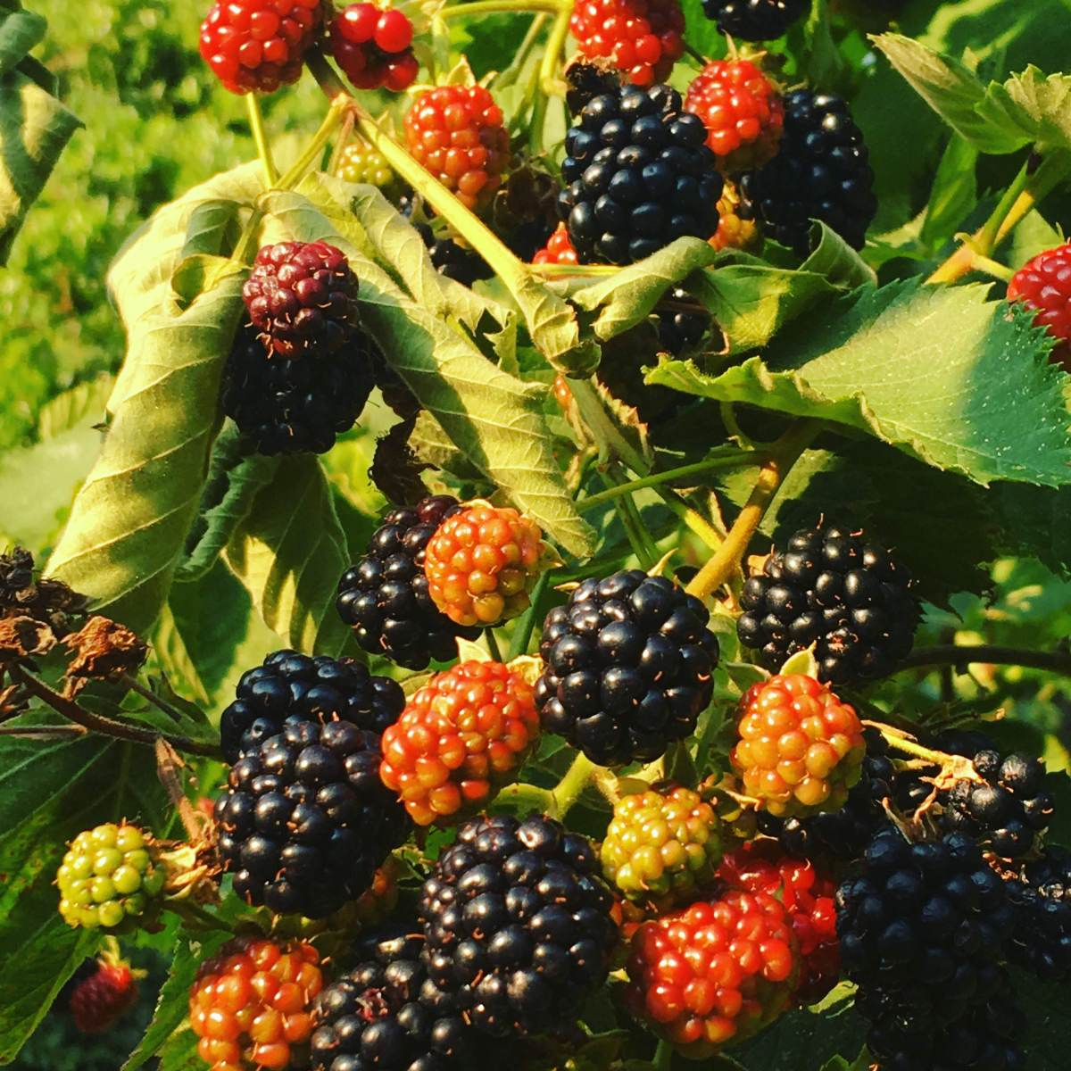 growing blackberry
