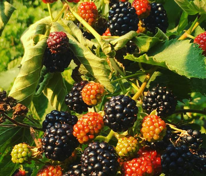 Growing and harvesting blackberry