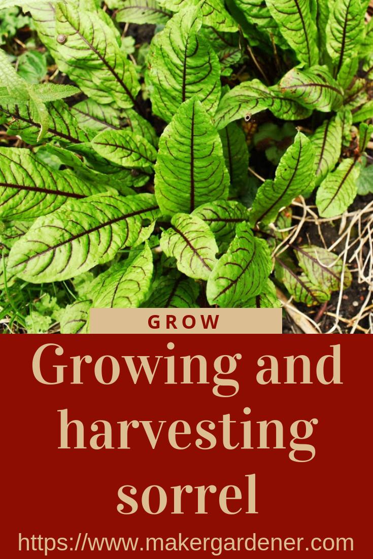 growing and harvesting sorrel