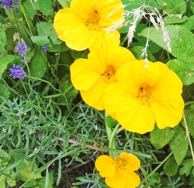 How to grow and harvest nasturtium