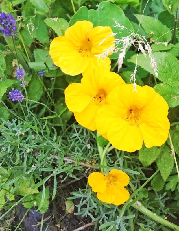grow and harvest nasturtium