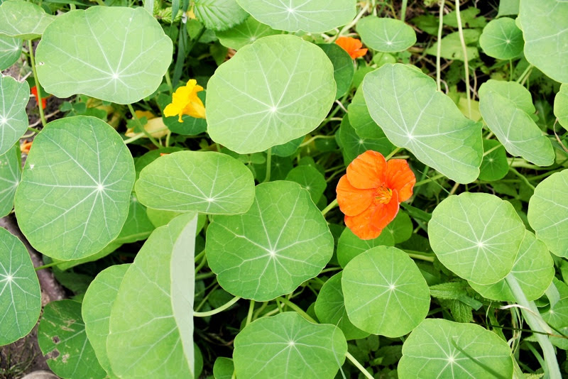 grow and harvest nasturtium