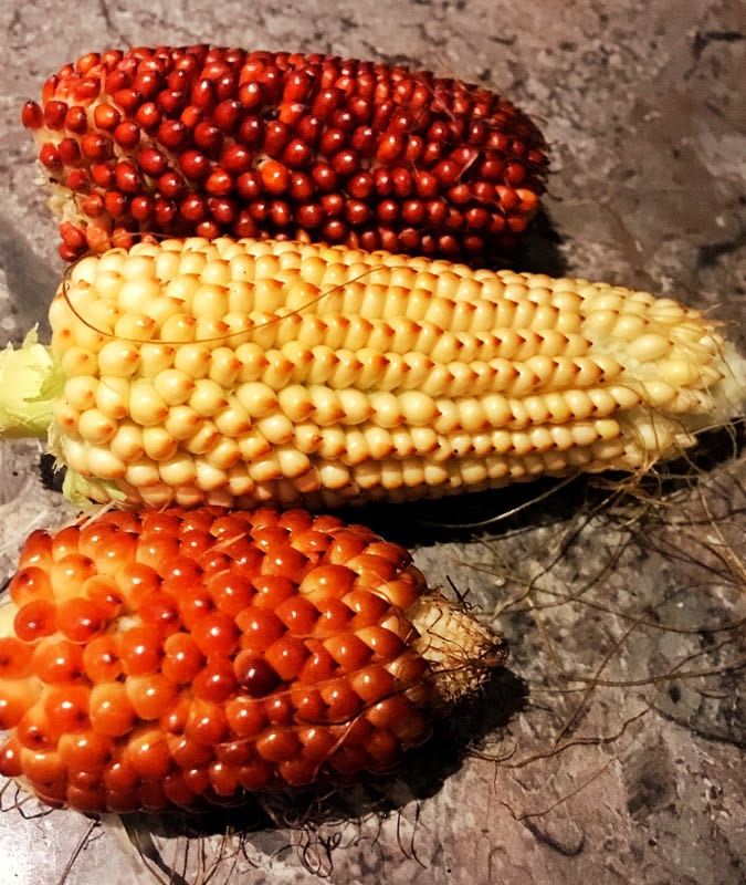 growing and harvesting red strawberry corn
