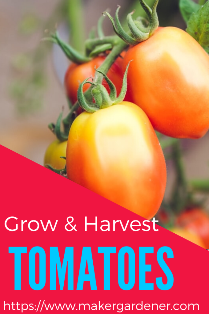 Growing and harvesting tomatoes