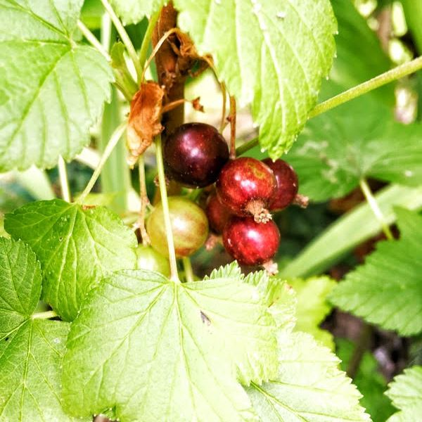 Growing and harvesting Blackcurrants