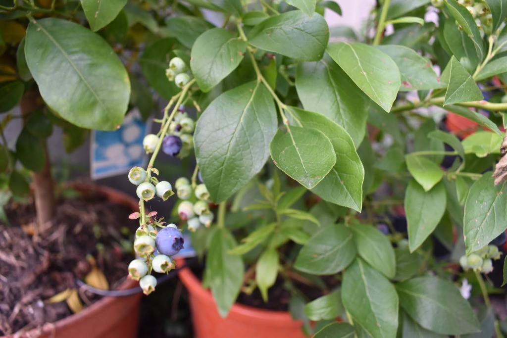 Growing and harvestng blueberries