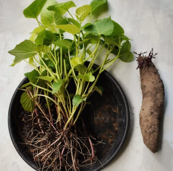 Growing and harvesting sweet potato leaves