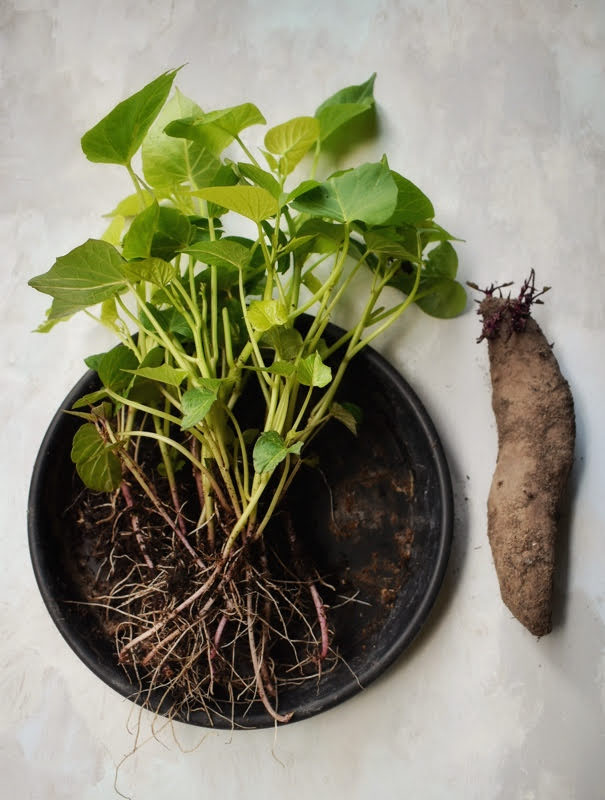 growing and harvest sweet potato leaves