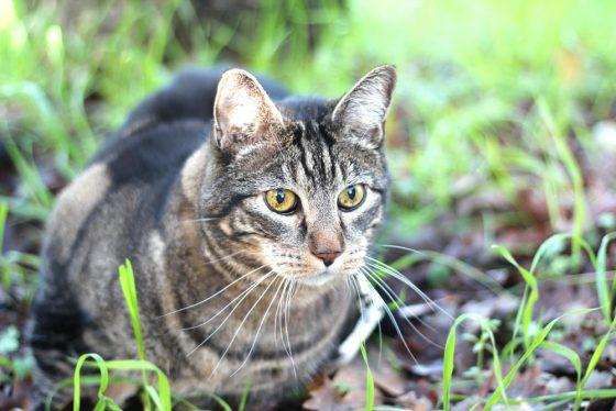 tabs-cat-thanksgiving-3