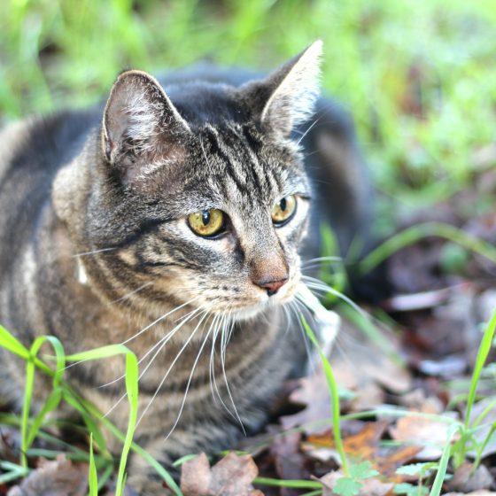 tabs-cat-thanksgiving-4