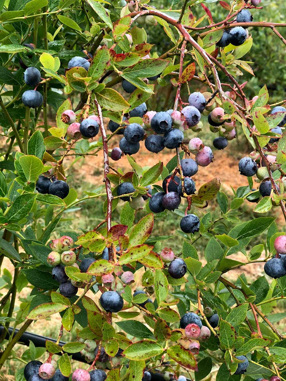 duckworth farms blueberries on vine