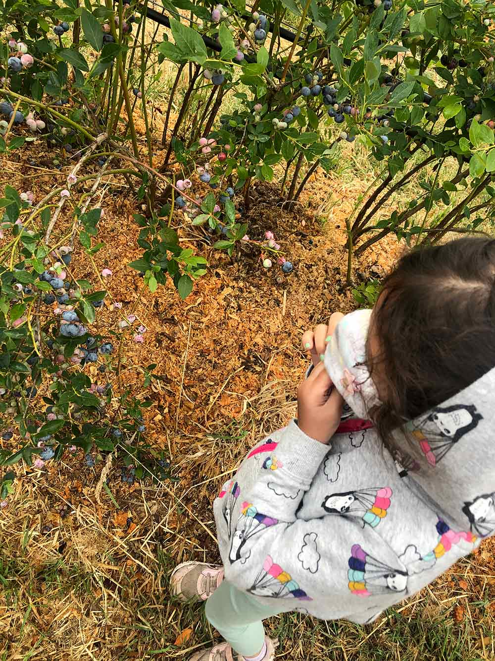 duckworth farms coycoy eating blueberries