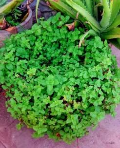Freshly grown peppermint leaves!